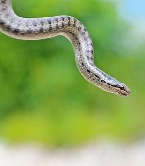 America's Super-Snake